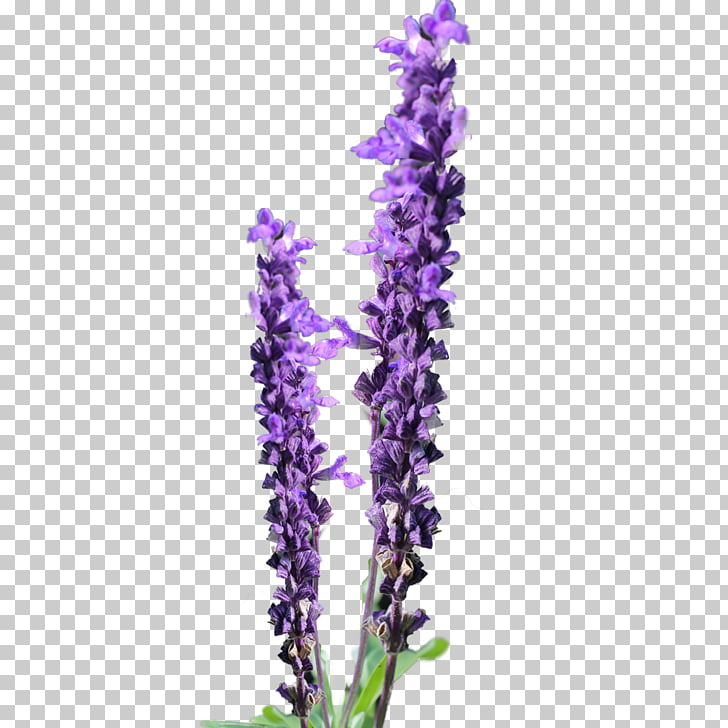 Lavender Flower Free content , Lavender Daisy s PNG clipart.