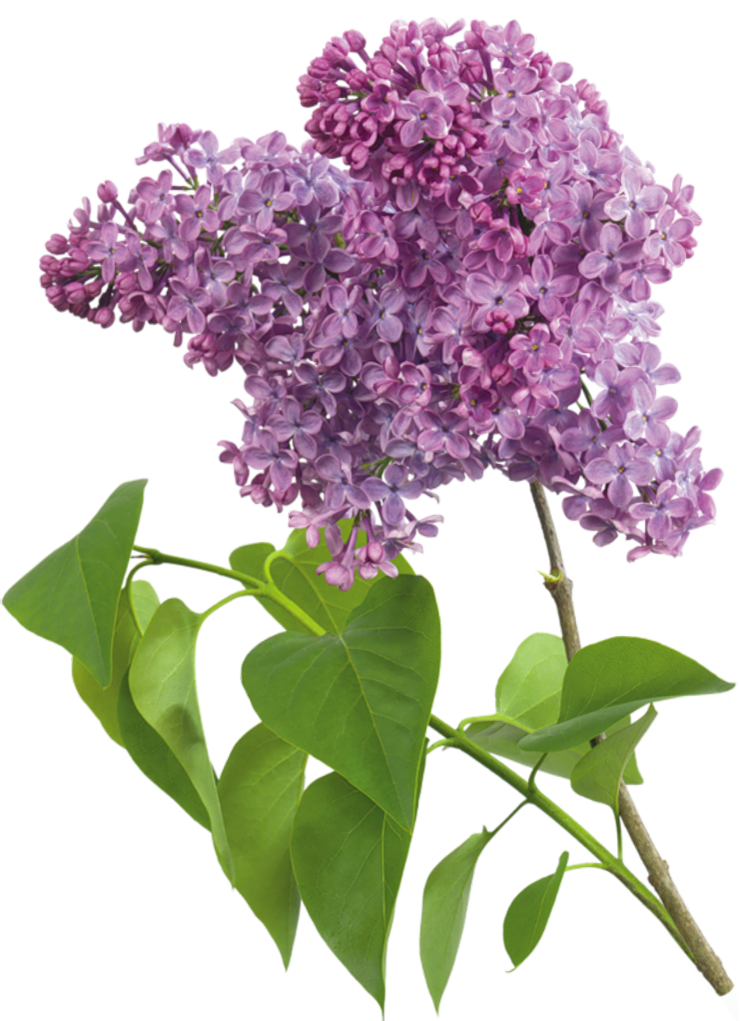 Purple Transparent Lilac Clipart.