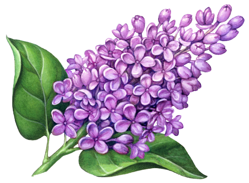 Lilac PNG Images Transparent Free Download.