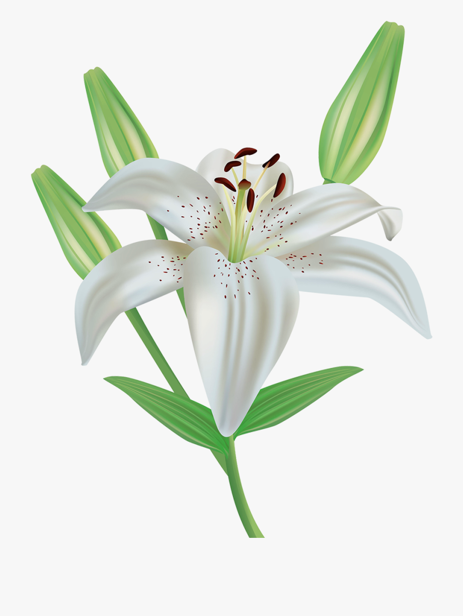 Lily Flower Clip Art Free For Our Users.
