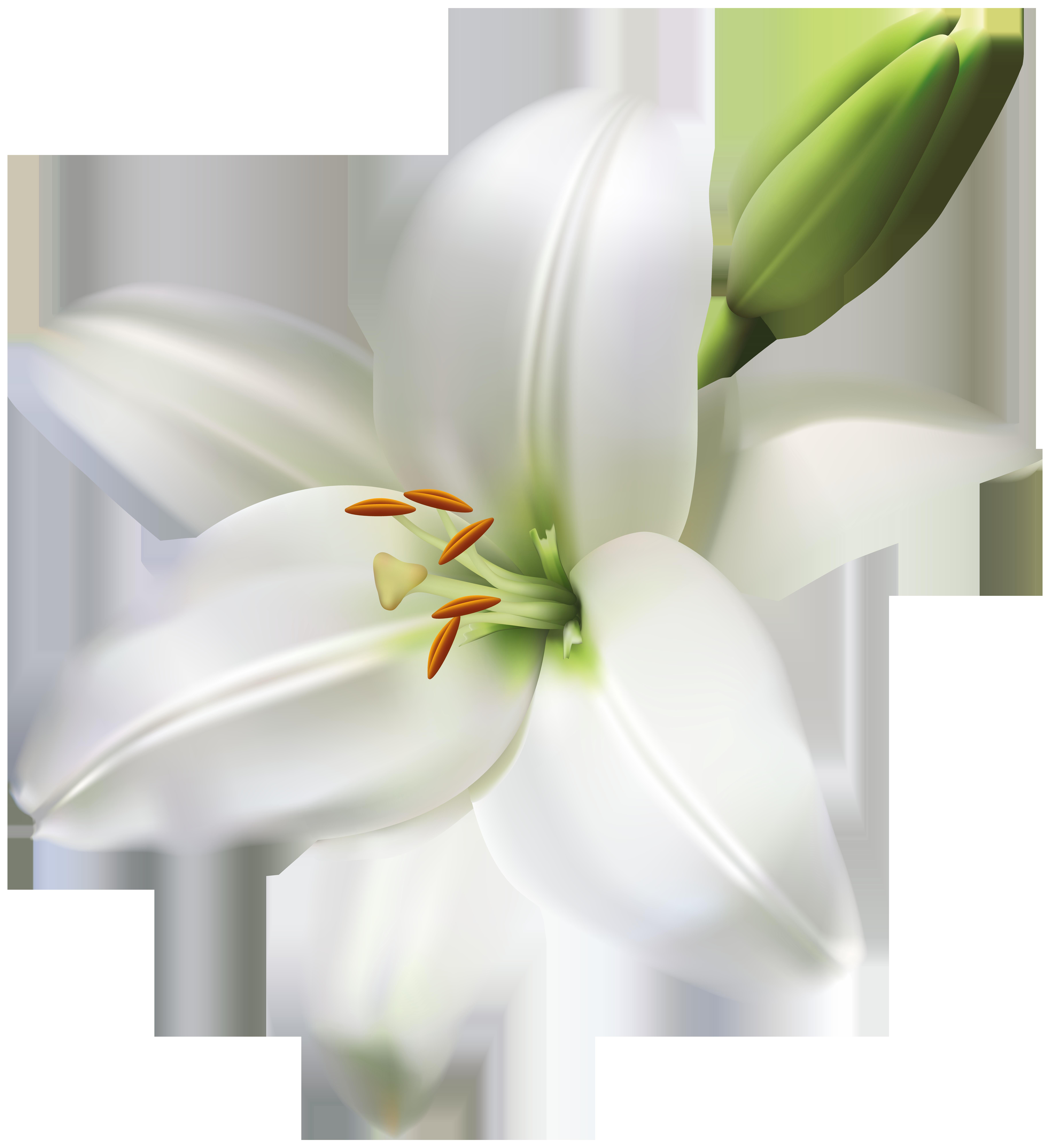 Lily Flower Transparent PNG Clip Art Image.