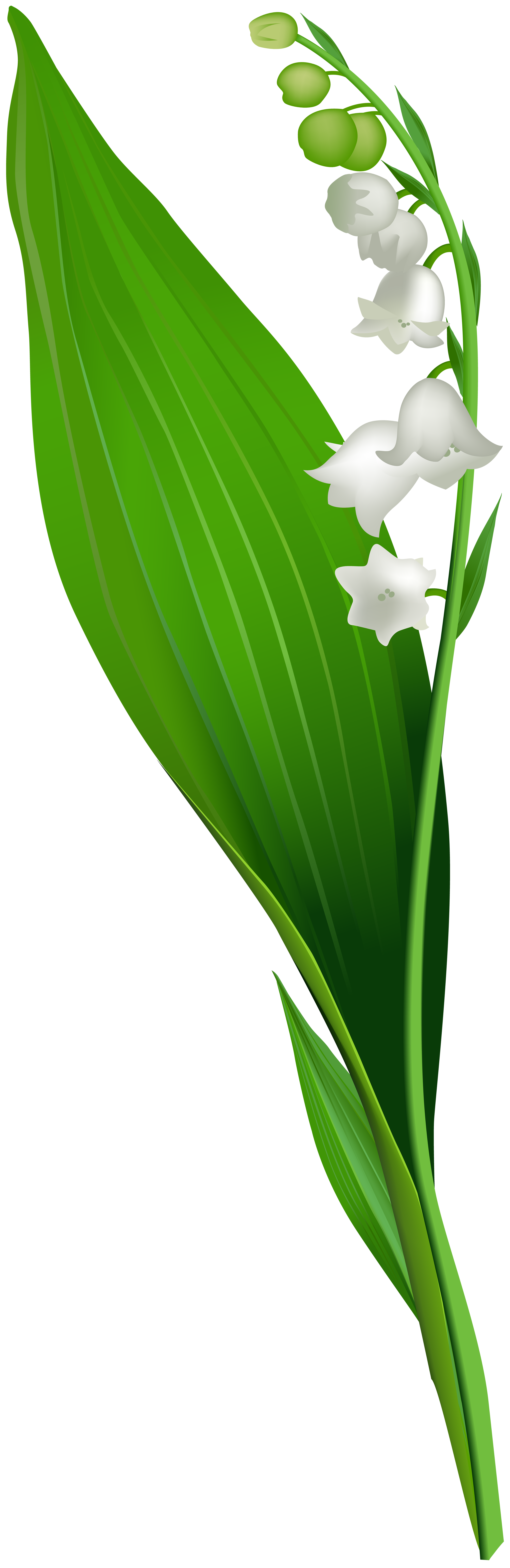 Lily of the Valley Flower PNG Clip Art.