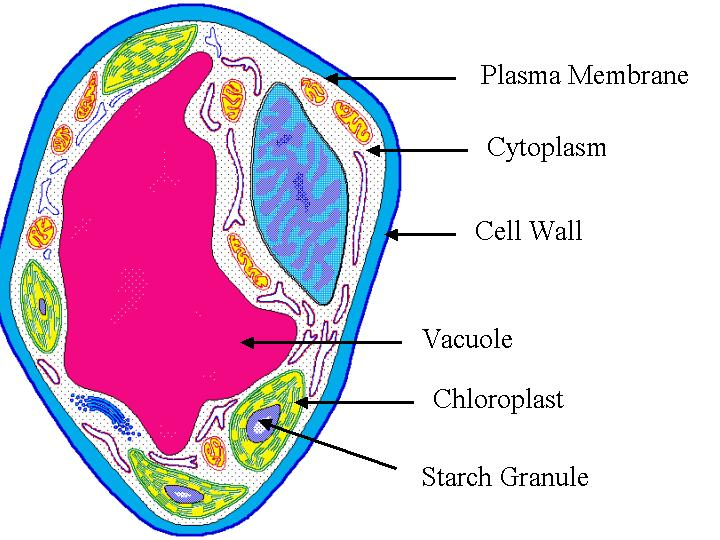Free Clipart Of An Animal Cell Membrane 20 Free Cliparts