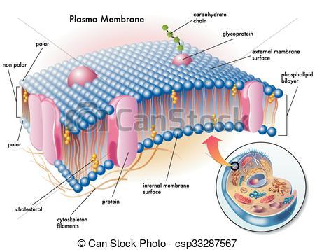 Clip Art Vector of plasma membrane.