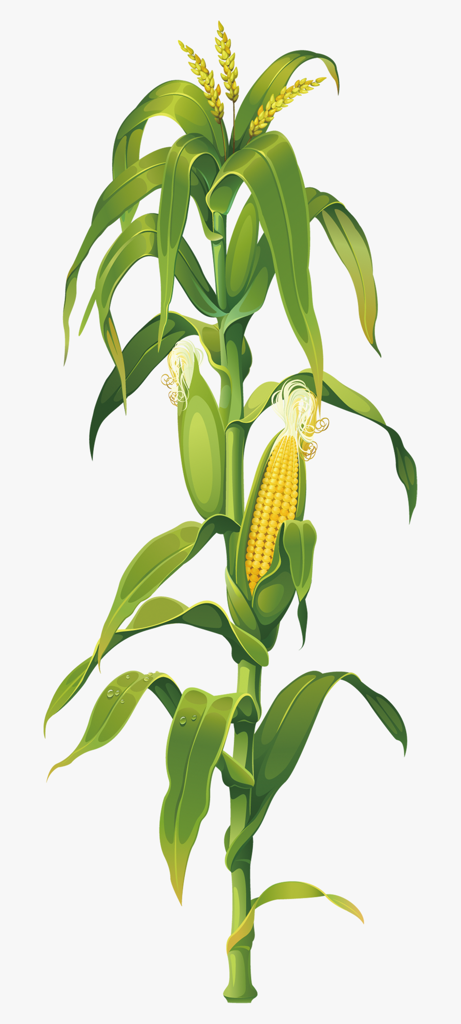 Maize Plant On Corn Cob The Drawing Clipart.
