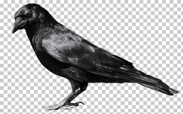 Crows , Crow PNG clipart.