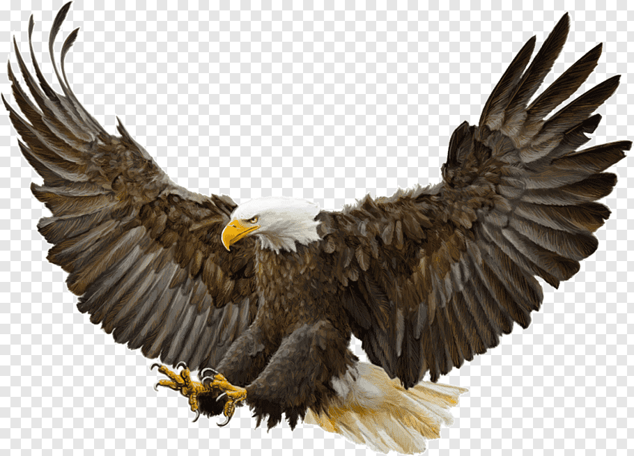 Bald Eagle Bird Golden eagle Drawing, Bird free png.