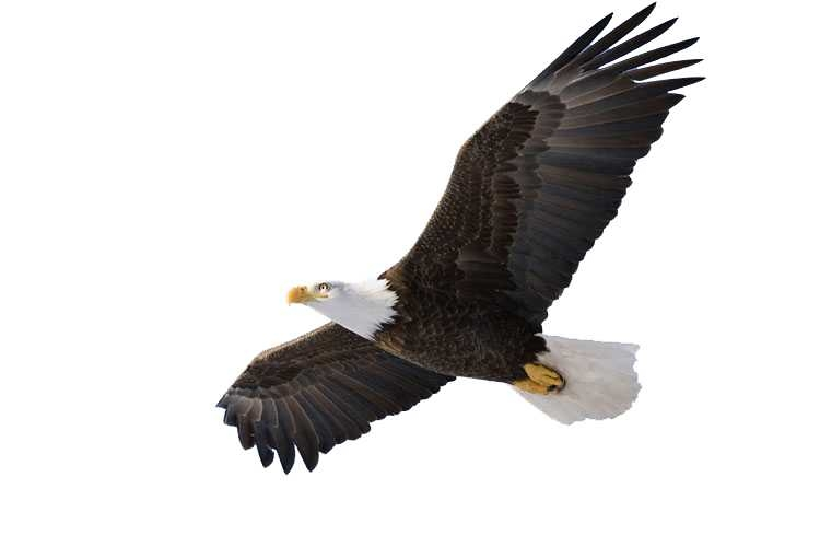 Free Eagles Clipart.