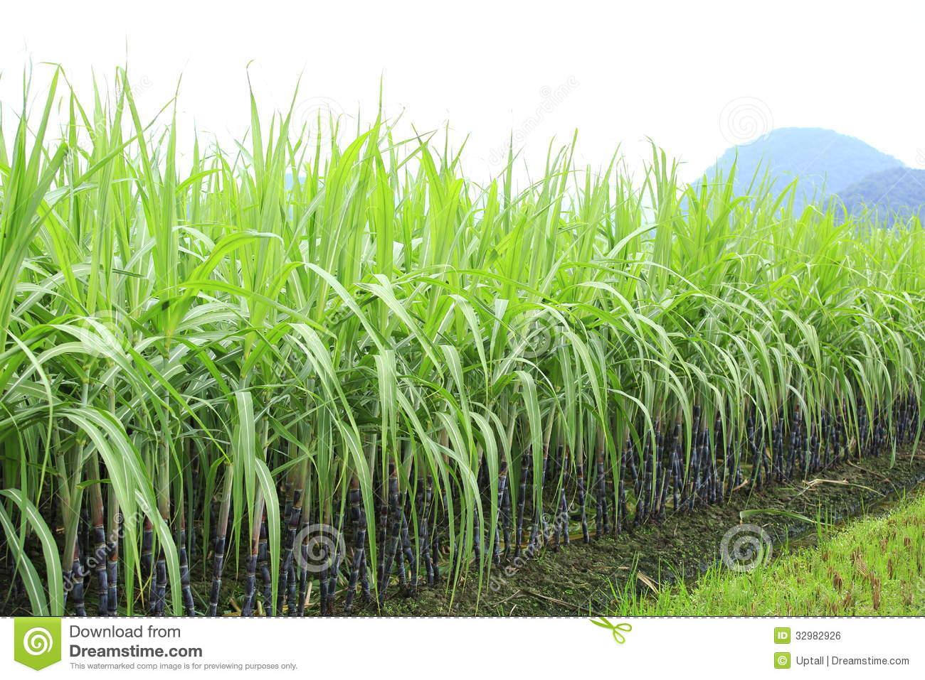 Sugarcane Crop Clipart.