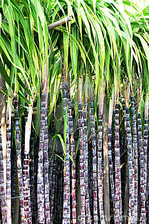 Showing post & media for Cartoon sugar cane stalk.