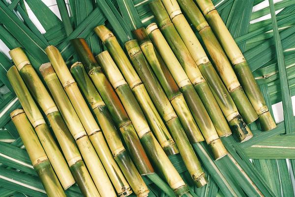 Sugarcane.