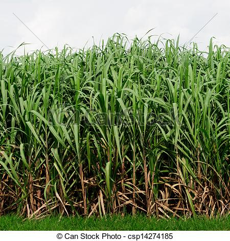 Free Clipart Of Sugarcane.