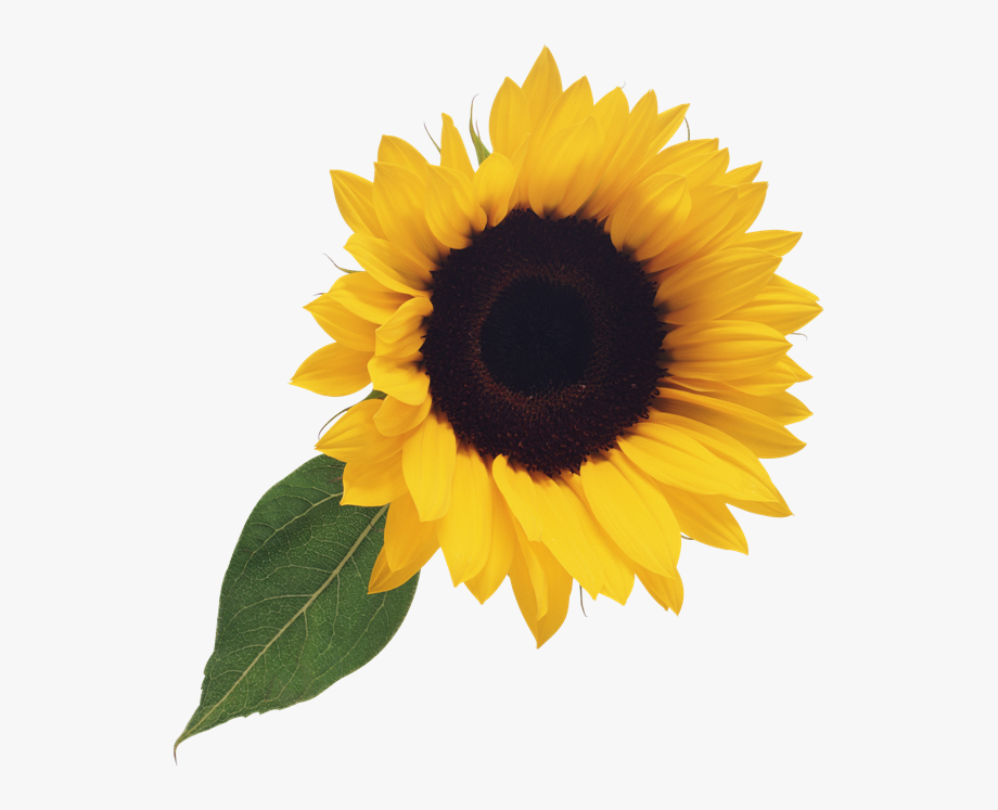 Free Sunflower Clipart Png.