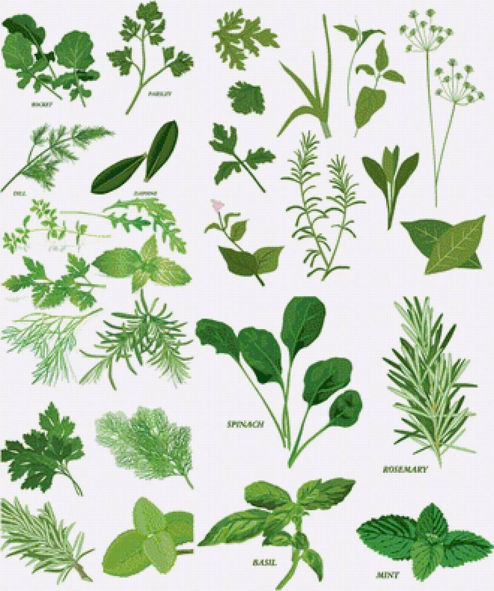 Free Herbs Clipart Clip Art Pictures Graphics.