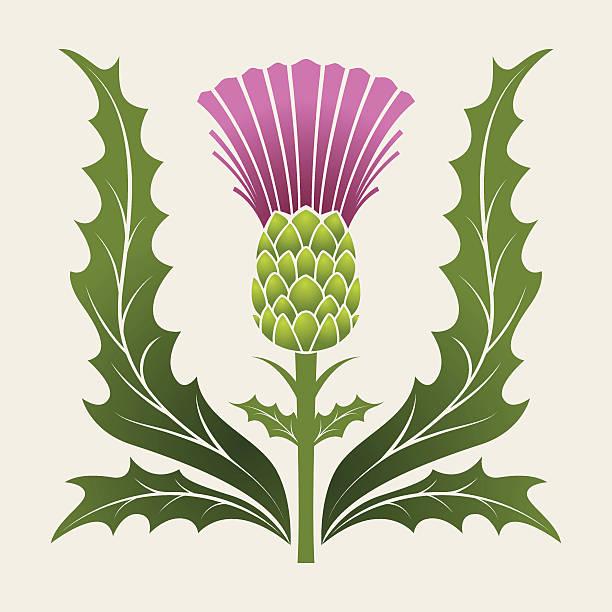 Best Scottish Thistle Illustrations, Royalty.