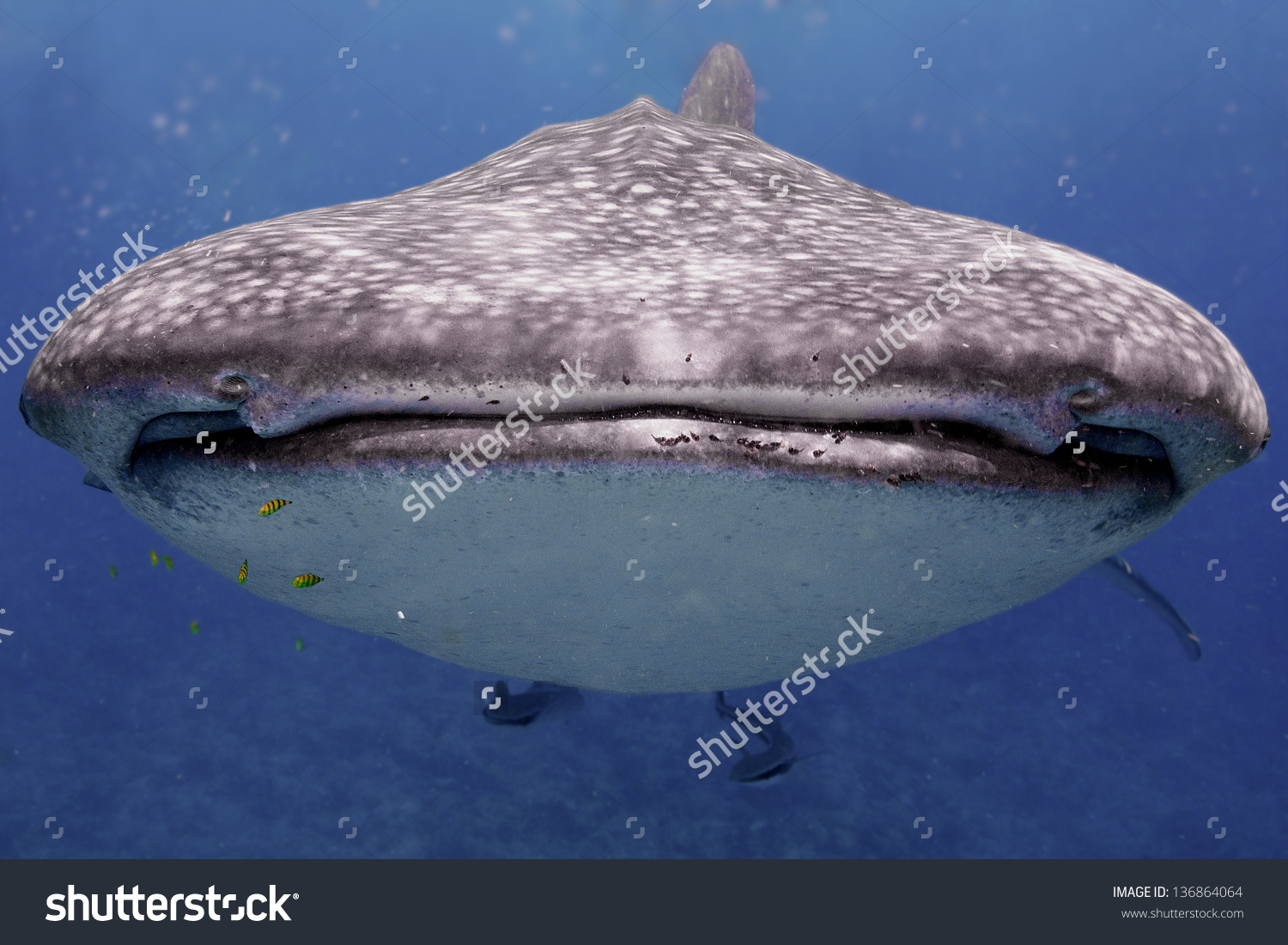 Front Facing Closeup Whale Shark Maldives Stock Photo 136864064.