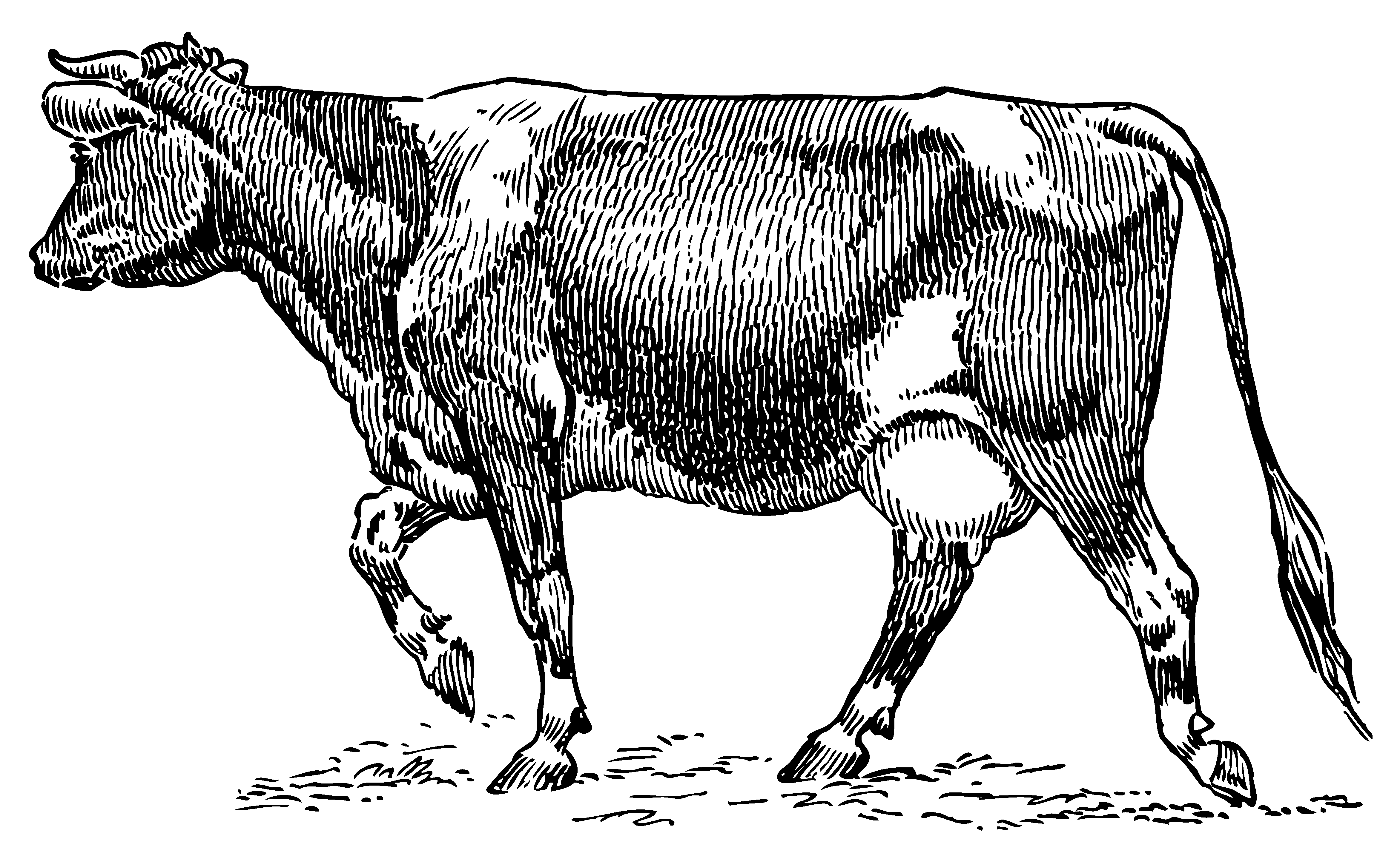 Dairy Cow Vintage Clipart.