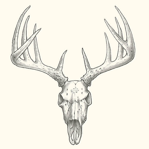 Best Deer Skull Illustrations, Royalty.