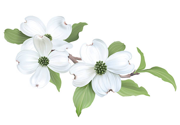 Dogwood clipart free 3 » Clipart Station.