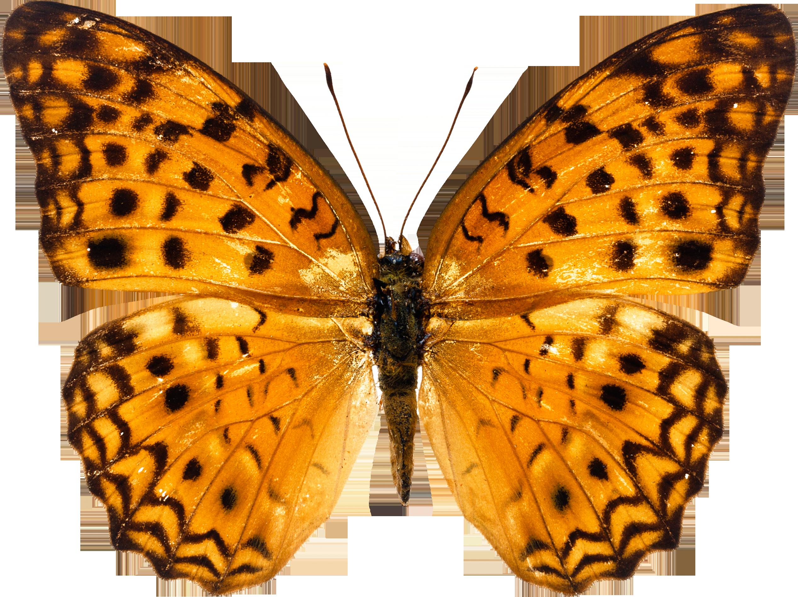 Butterflies Gallery.