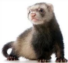 Free Ferret Clipart.