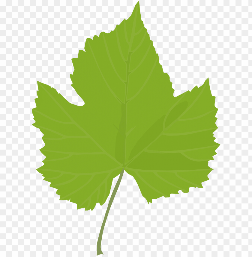 leaf common grape vine grape leaves plant stem plants.