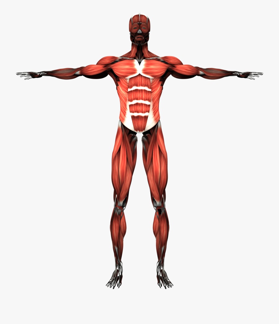 Transparent Muscles Muscular System.