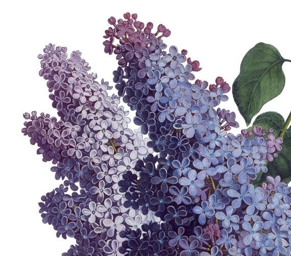 Free Lilac Cliparts, Download Free Clip Art, Free Clip Art.