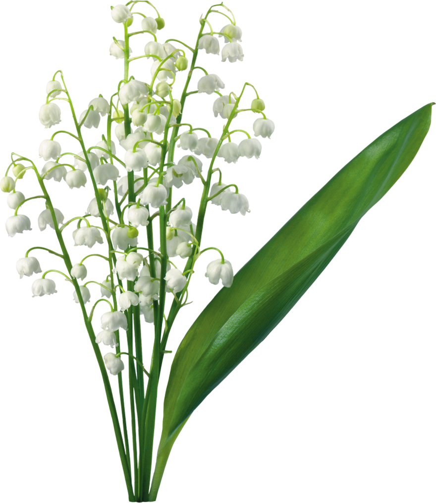 Transparent Lily Of The Valley.