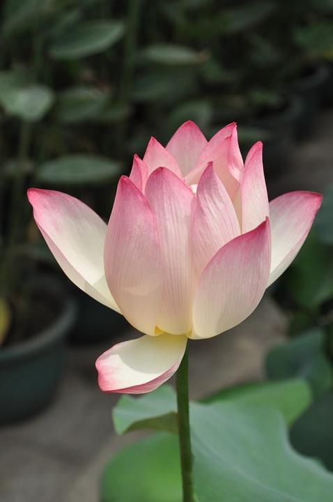 Lotus, Flower.