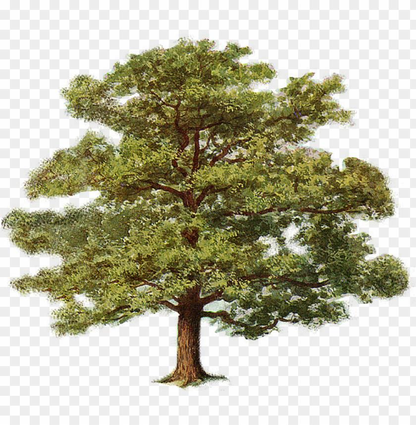 oak tree 0.