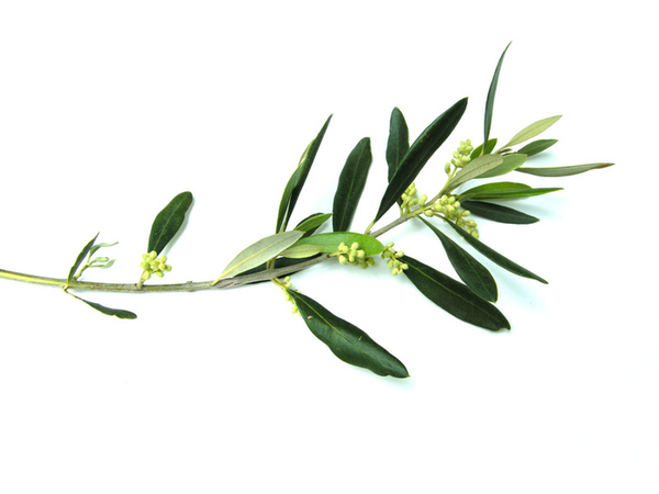 Free Olive Branch Clipart, Download Free Clip Art, Free Clip.