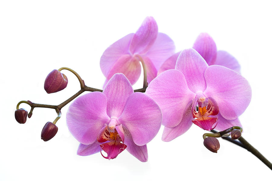 Free Purple Orchid Png, Download Free Clip Art, Free Clip.