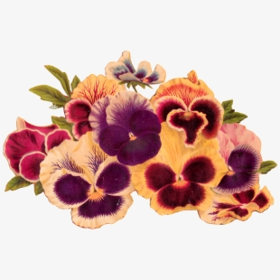 Pansies , Transparent Cartoon, Free Cliparts & Silhouettes.