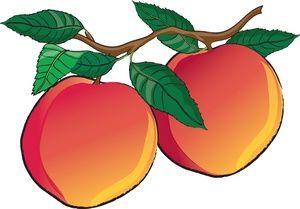 Nectarines Clipart Image.
