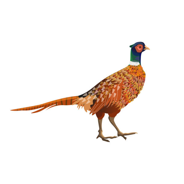 Ring Necked Pheasant Illustrations, Royalty.
