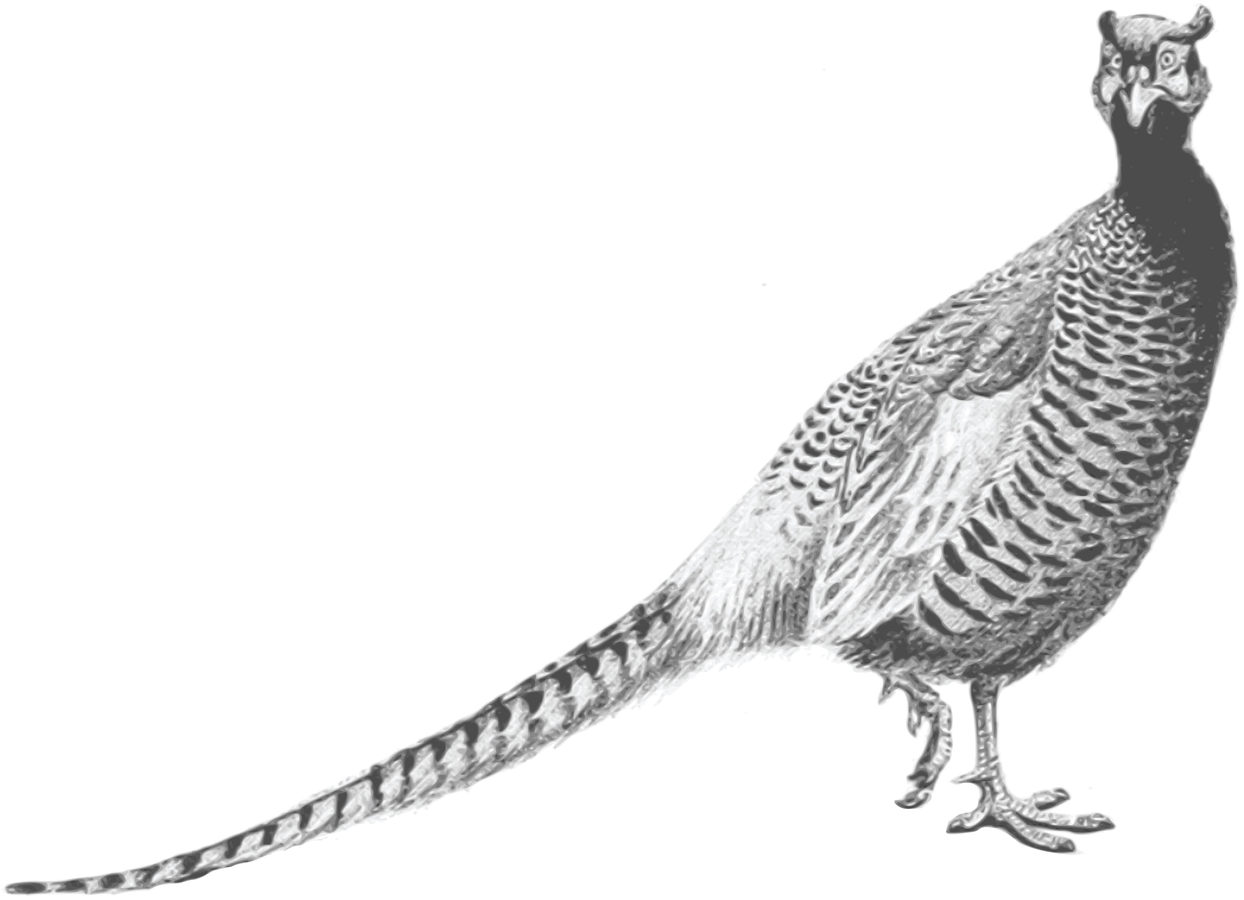 Free Clipart Of A pheasant bird.