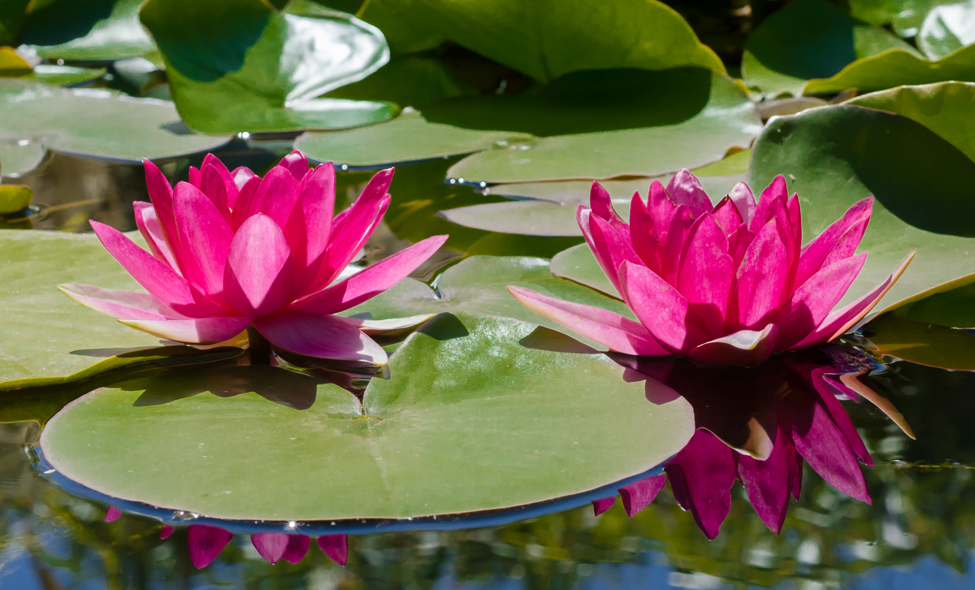 Free stock photo of pond, water lily.