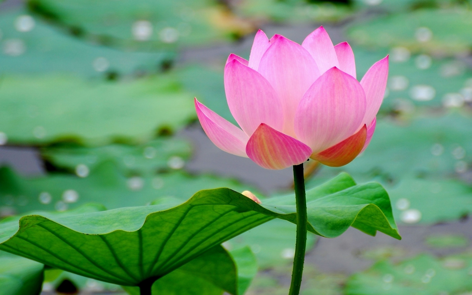 Free Adorable Water Lilies Images on your Mobile.