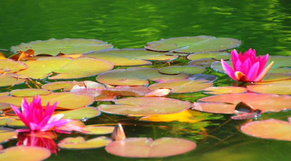 Flower images water lily free stock photos download (22,188 Free.