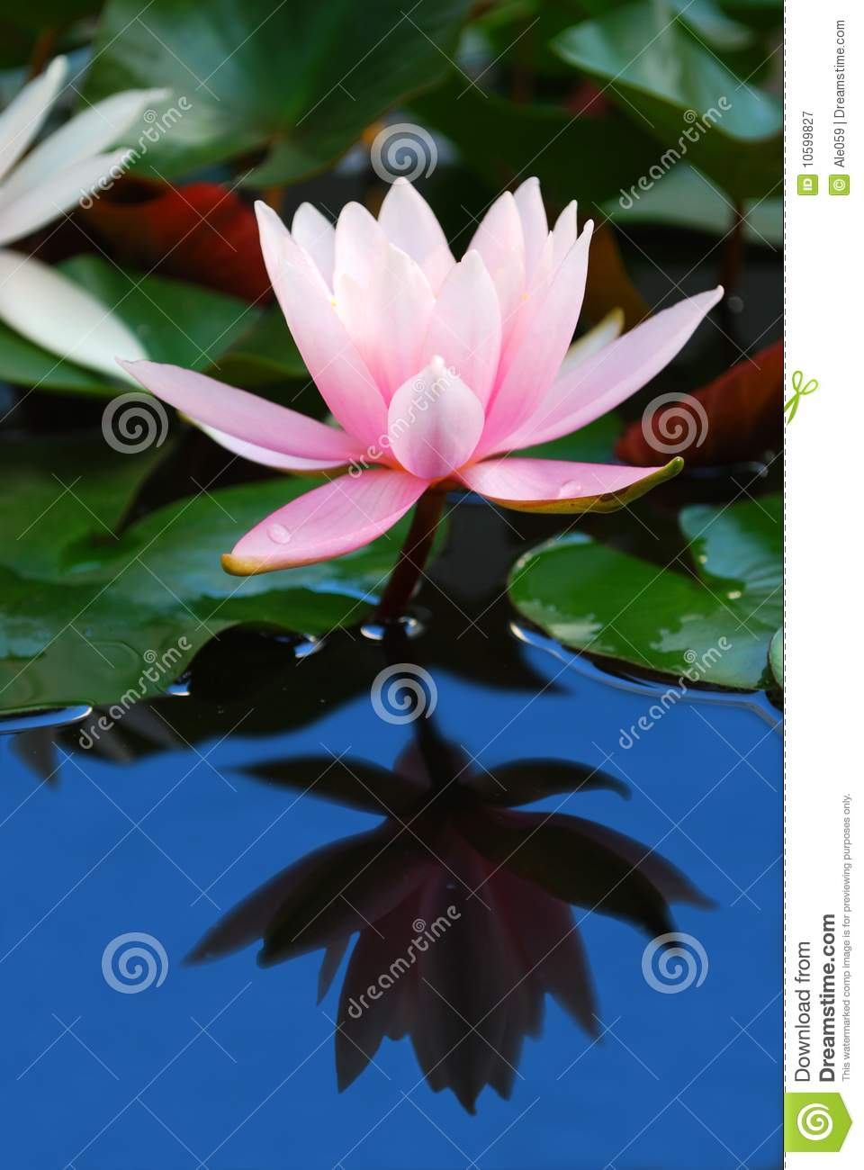 Water Lily Reflection Royalty Free Stock Photography.