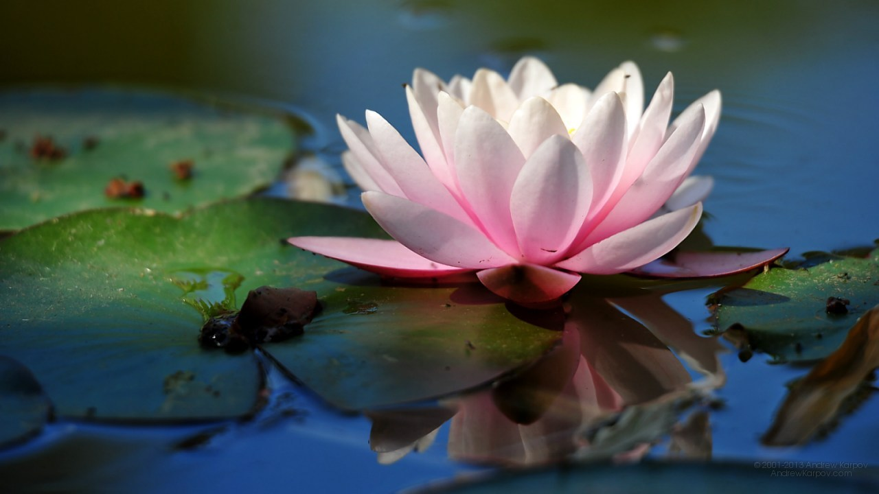 Beautiful Water lily flowers 1280 x 720 background 1280x720 Free.