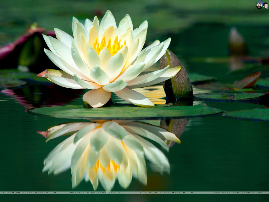 Water Lilies Wallpaper, 100% Quality Water Lilies HD Pics #TL972.
