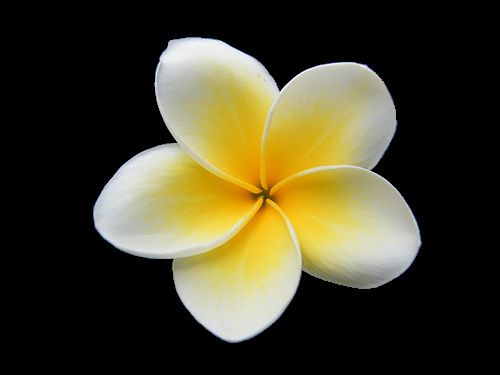 Plumeria Free Images At Clker Com Vector Clip Art Online Royalty.