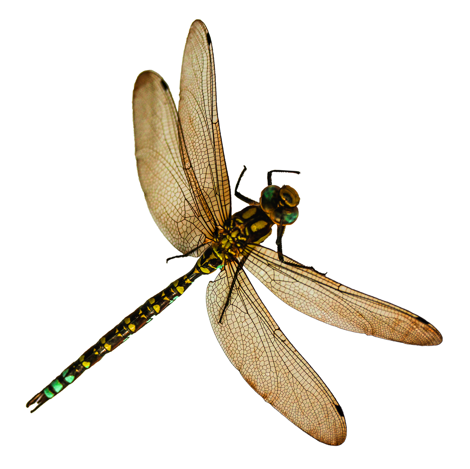 Dragonfly PNG Image.
