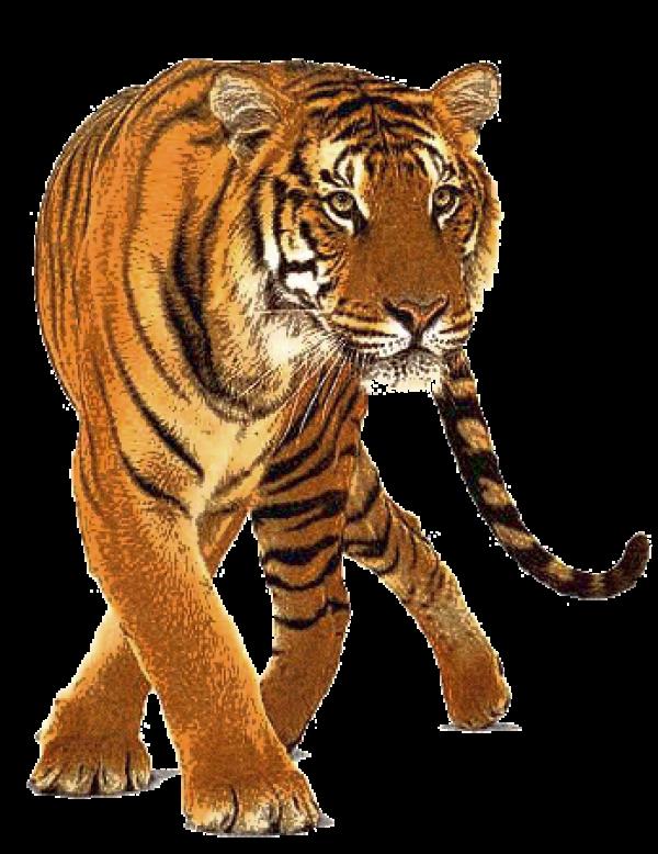 Tiger PNG Free Download 4.