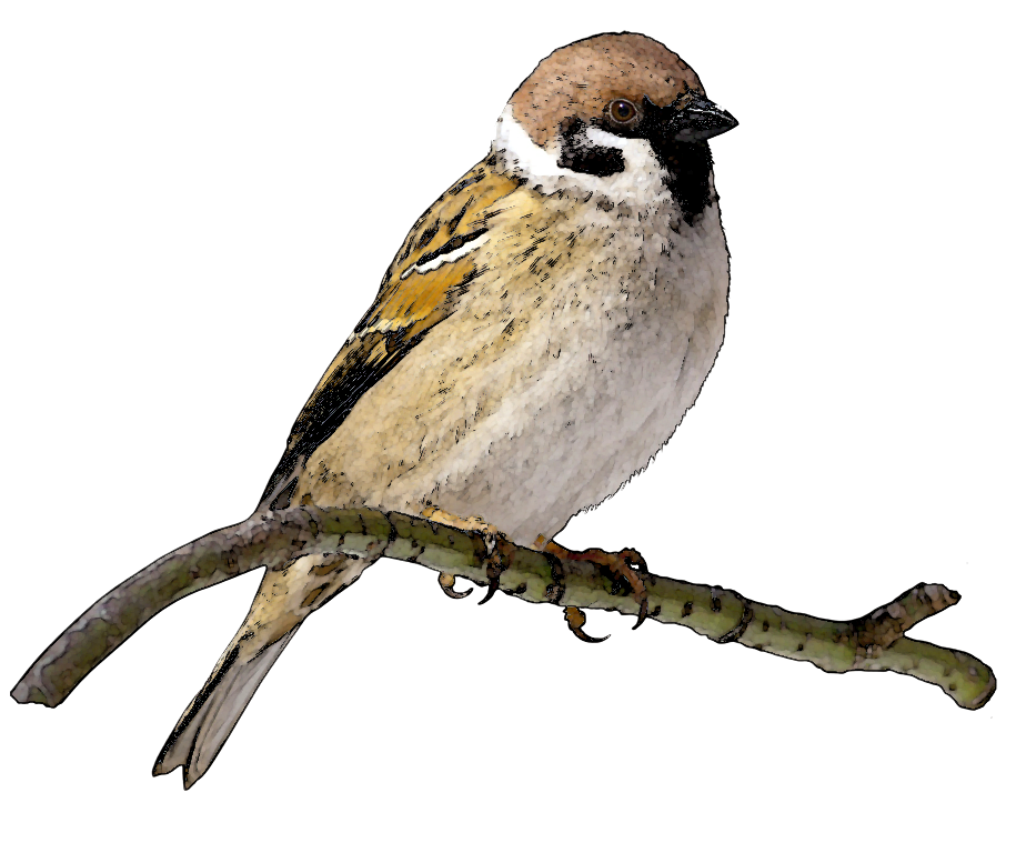 Sparrow Free PNG Image.