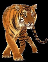 Tiger PNG Images Download.
