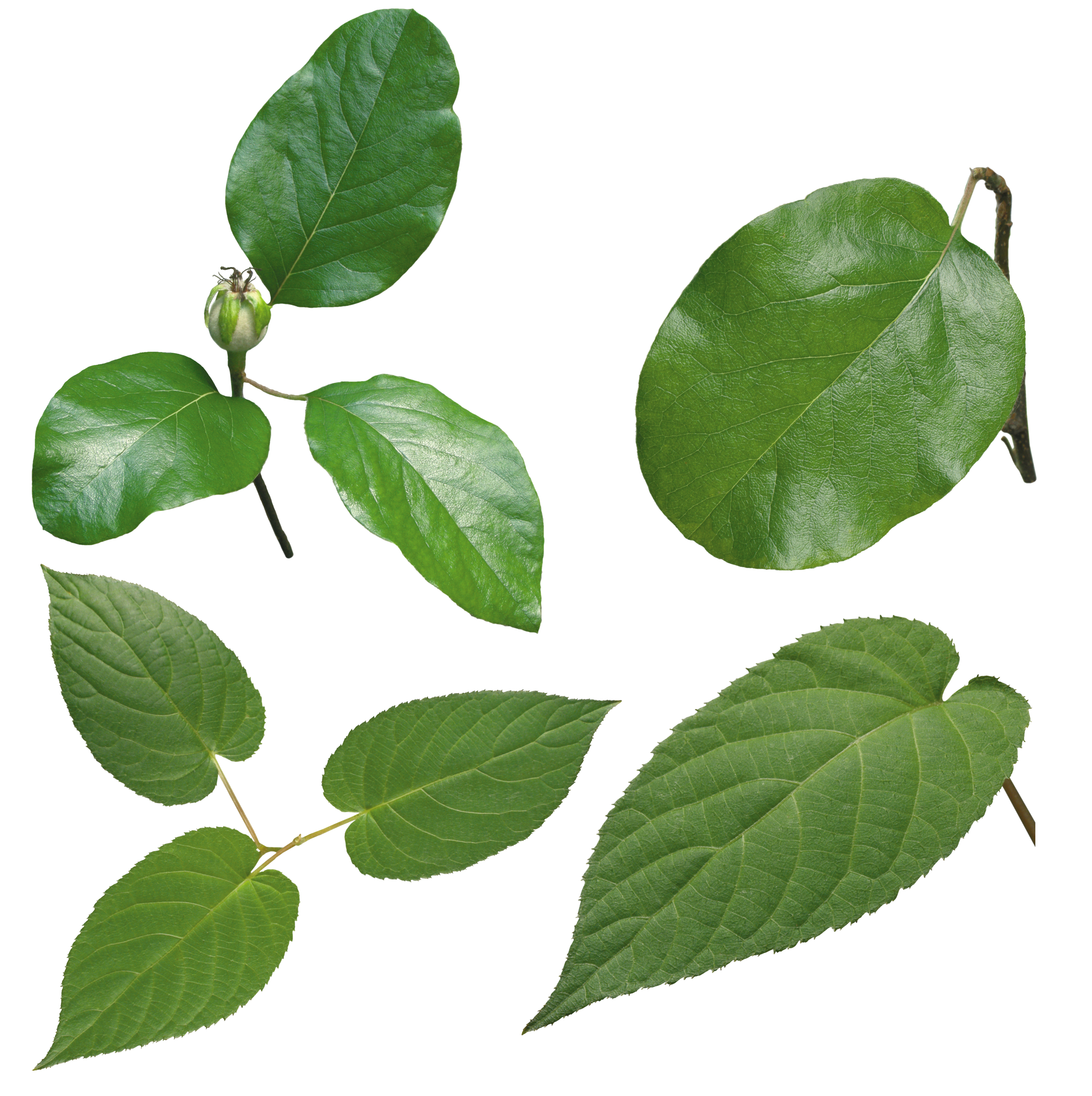 Green leaves PNG images free download pictures.