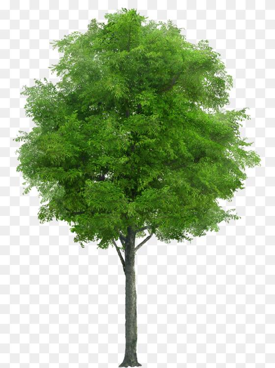Download Free png Plane trees Oak Free PNG Image Tree,Image.
